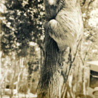 A sloth climbing a tree