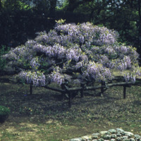 Flowering Wisteria Bush