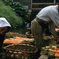 Carrot farmers