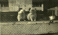 Two dogs behind a fence